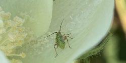 immature tarnished plant bug