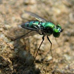 Longlegged Fly - (Photo credit: Copyright © Lewis Scharpt)