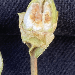 Smaller cotton boll damaged by stink bugs.