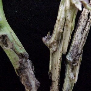 Figure 4. Bell pepper plant stem hollowed by eastern subterranean termite (Photo credit: Ted Gilbert).