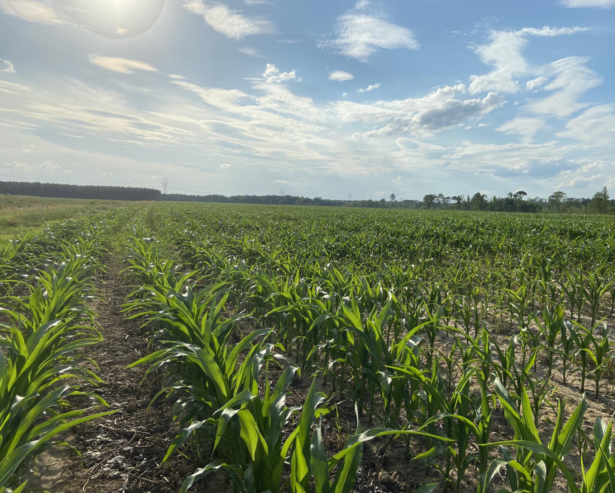 corn field in early summer; row crop update