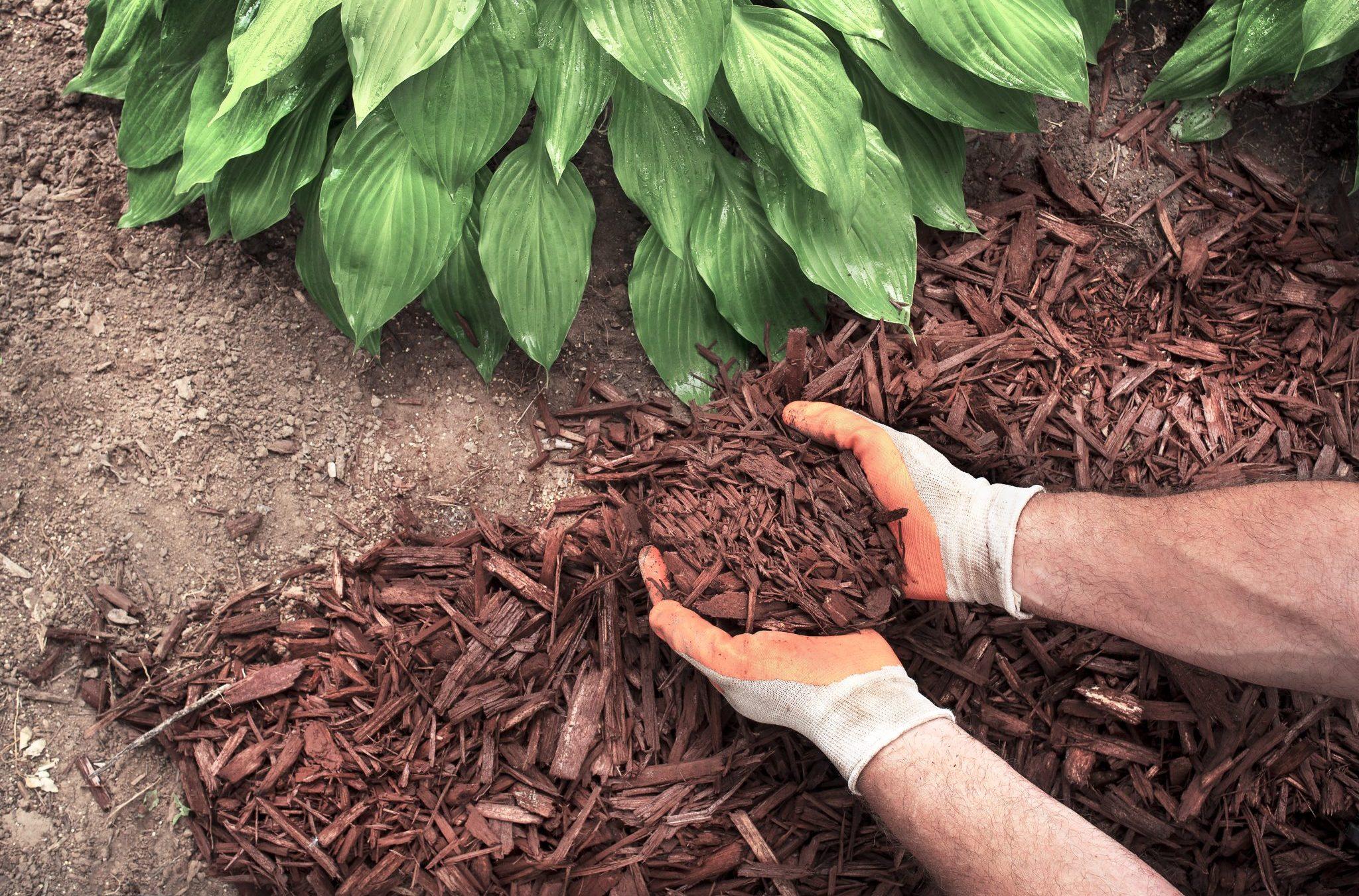 man spreading mulch around hosta plants in garden