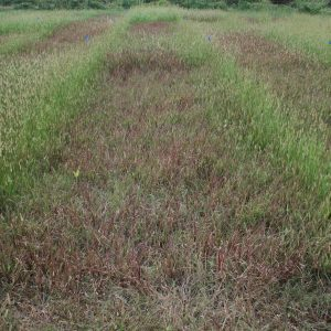 foxtail treated with Pastora herbicide