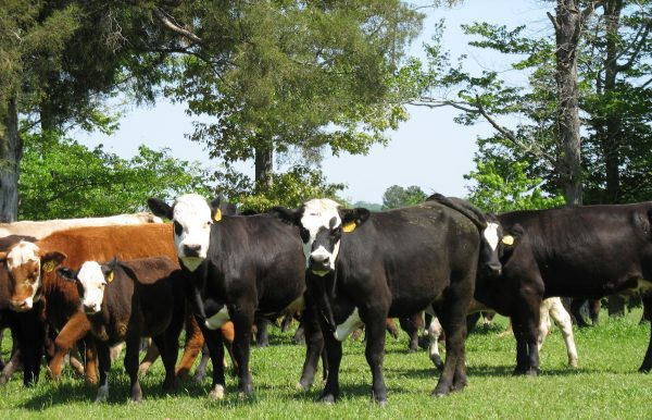 Commercial beef cattle