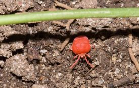Figure 1. Chigger mites are born bright red but fade to yellow when well fed (Photo credit: Susan Ellis, bugwood.org).