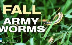 Fall Armyworms