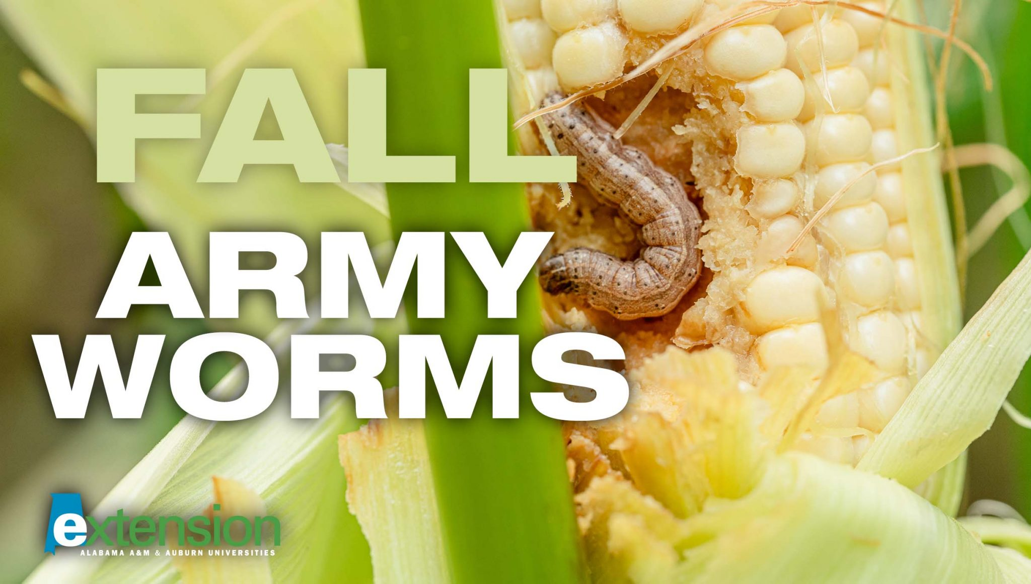 Fall armyworm on corn