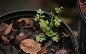 Figure 1. Bittercress (Cardamine spp.) with seed pods. (Photo credit: John Olive, Ornamental Horticulture Research Center)