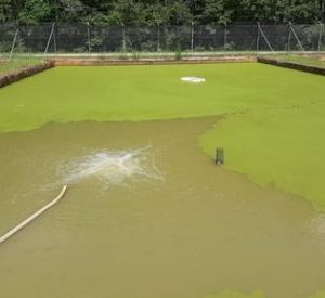 Figure 2a. Watermeal floating on top of a pond.