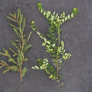 Figure 4. Chamberbitter (Phyllanthus urinaria), left, and long stalk phyllanthus (Phyllanthus tenellus), right. (Photo credit: John Olive, Ornamental Horticulture Research Center)