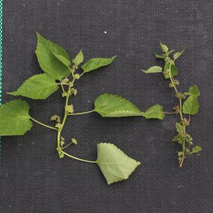 Figure 6. Mulberry weed (Fatoua villosa). (Photo credit: John Olive, Ornamental Horticulture Field Station.