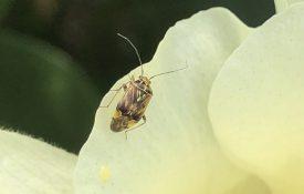 Figure 1. Adult tarnished plant bug.