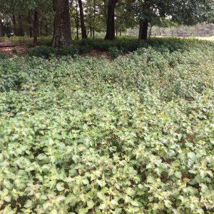 Perilla Mint in semi-shaded area