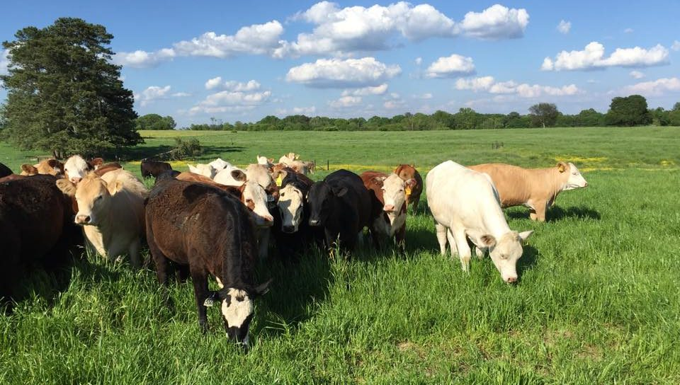 Heifers Grazing Winter Annual Forages