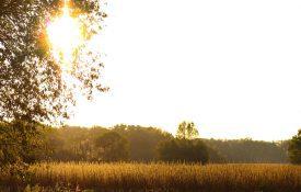 Sesame Field at Sundown