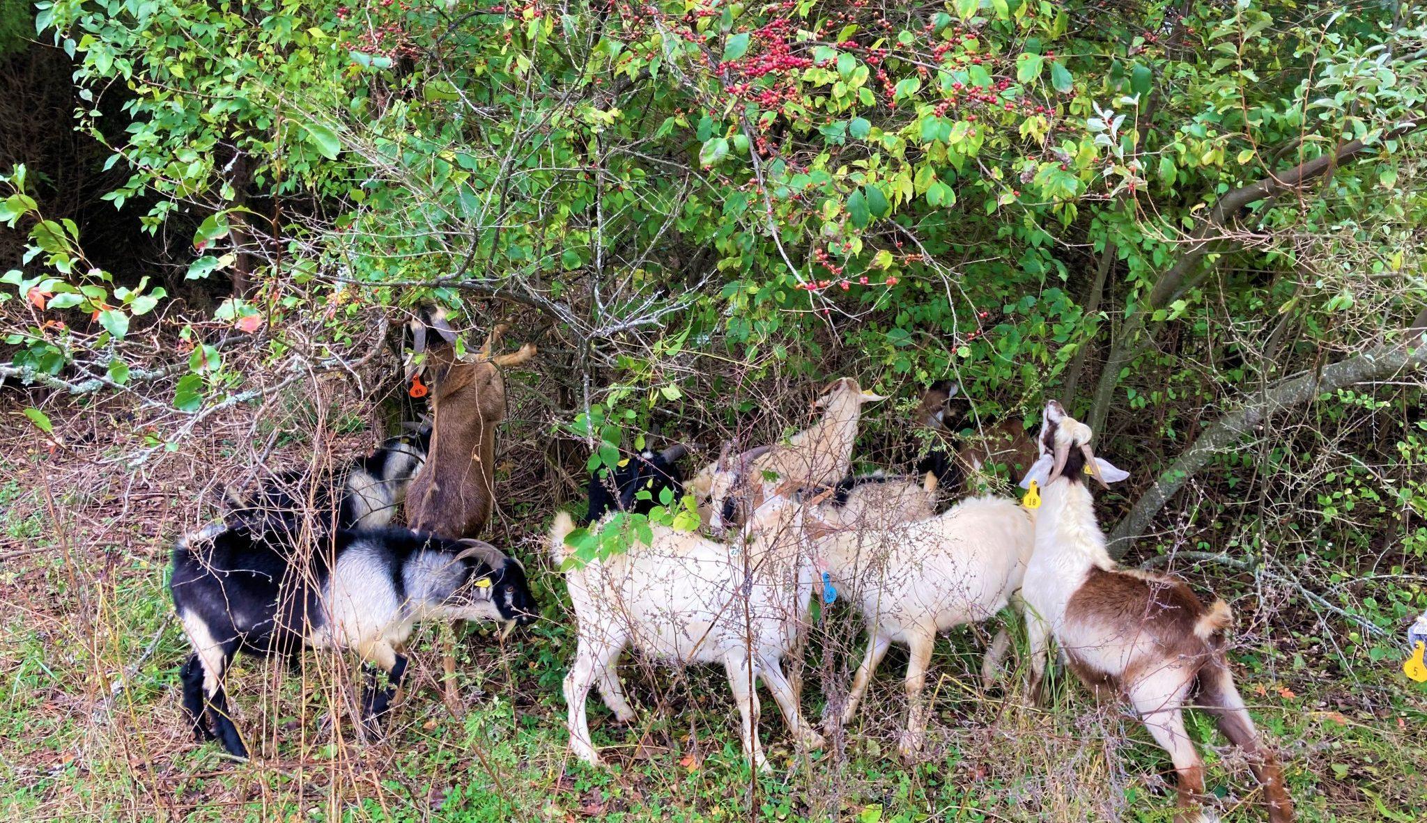 Goats Browsing