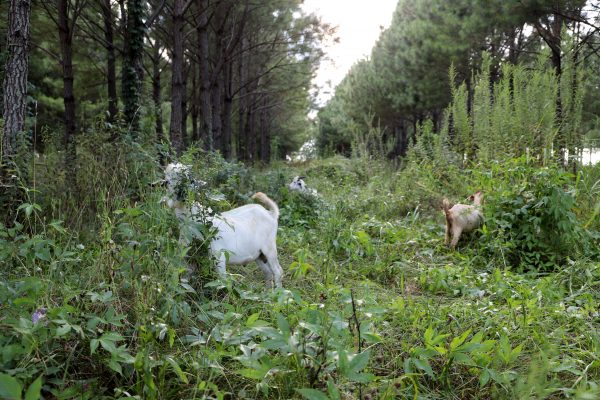 Goats browsing in forest