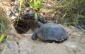 Figure 1. Gopher tortoise in front of burrow entrance. iStock photo by Shellphoto.