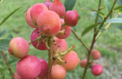 Ripening berries of 'Pink Lemonade