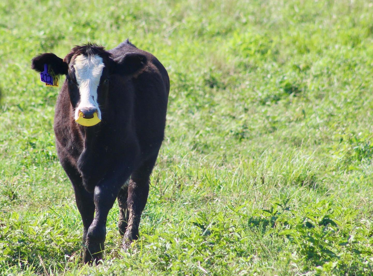 Weaning calf with a nose flap on