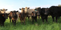 Beef cattle grazing in winter grazing in Autauga County, Alabama.