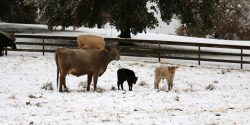 Cows and calf in the winter time