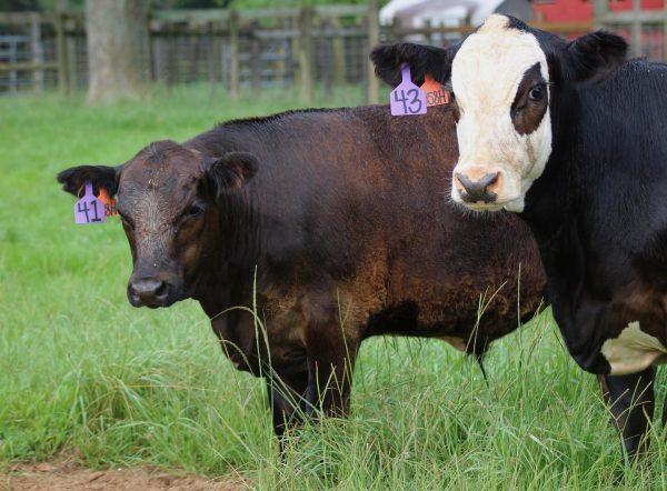 Two black weaning calves