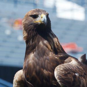 Aurea - Golden Eagle