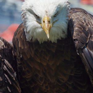 Spirit - Bald Eagle
