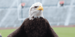 Independence Auburn Bald Eagle