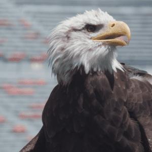 Independence - Bald Eagle