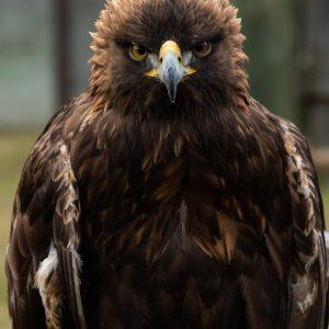Nova, War Eagle VII - Golden Eagle