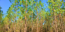 Figure 1. Loblolly pine is adaptable to many types of soil and growing conditions from central Texas east to Florida and north to Delaware and southern New Jersey.