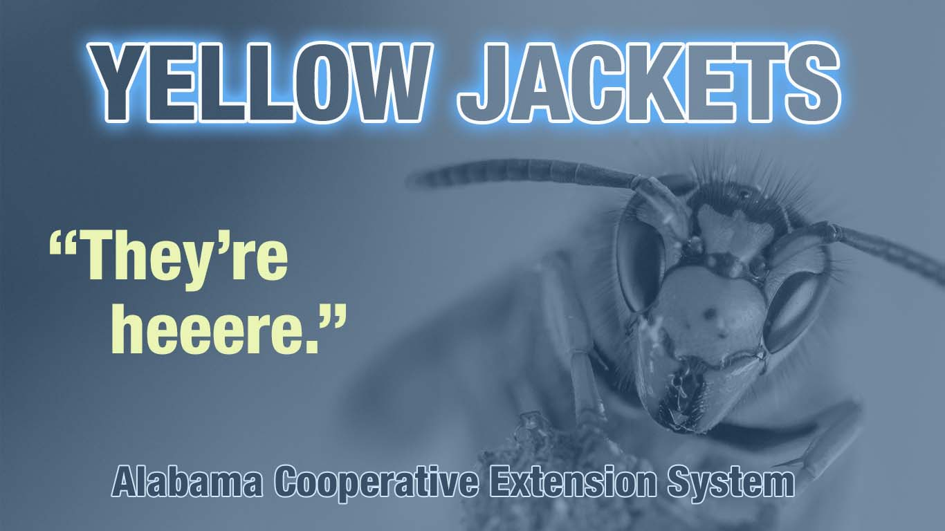 Yellow jackets. They're heeere.