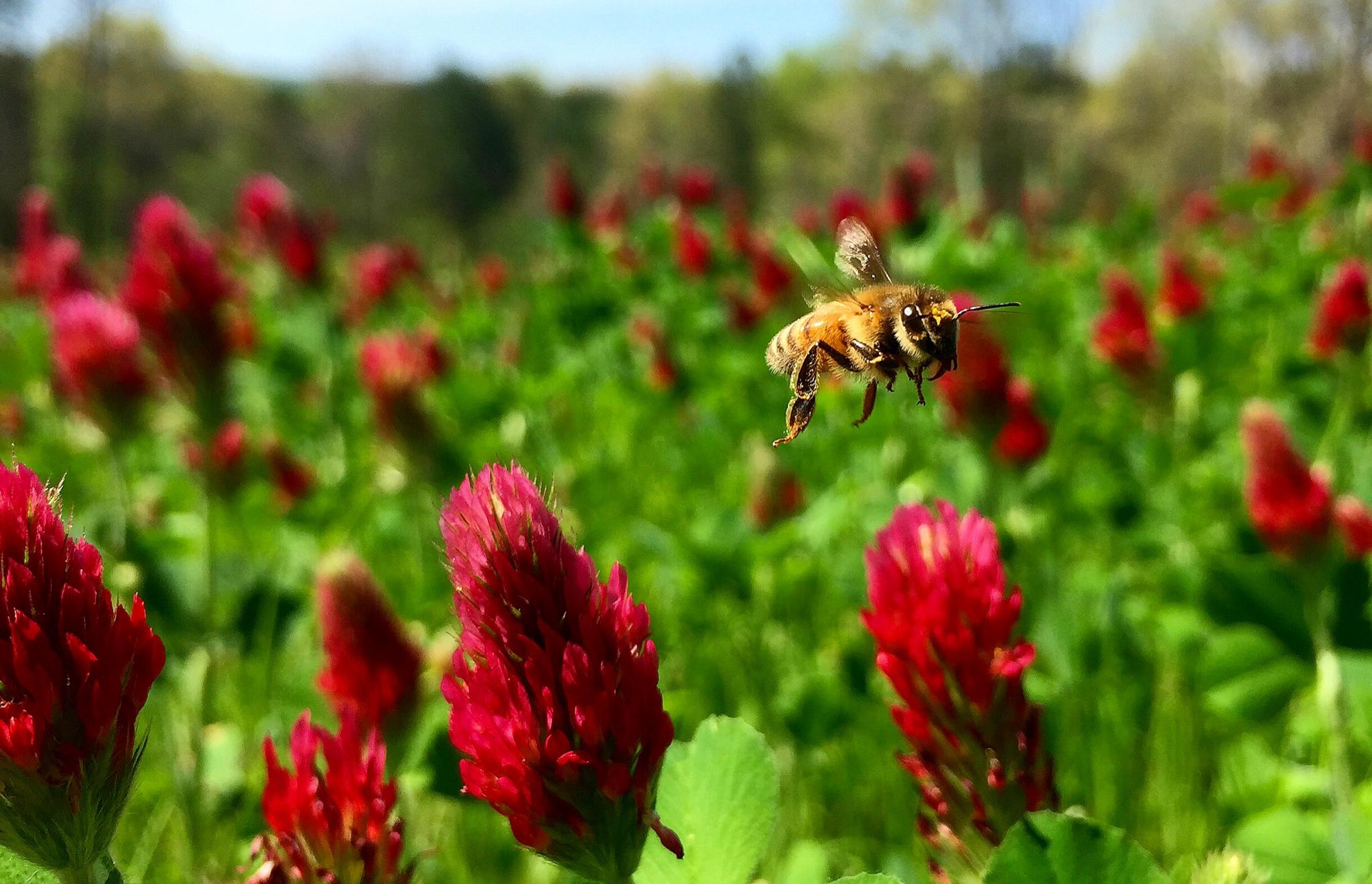 bee on crimson clover