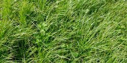 Perennial ryegrass and large leafed white clover
