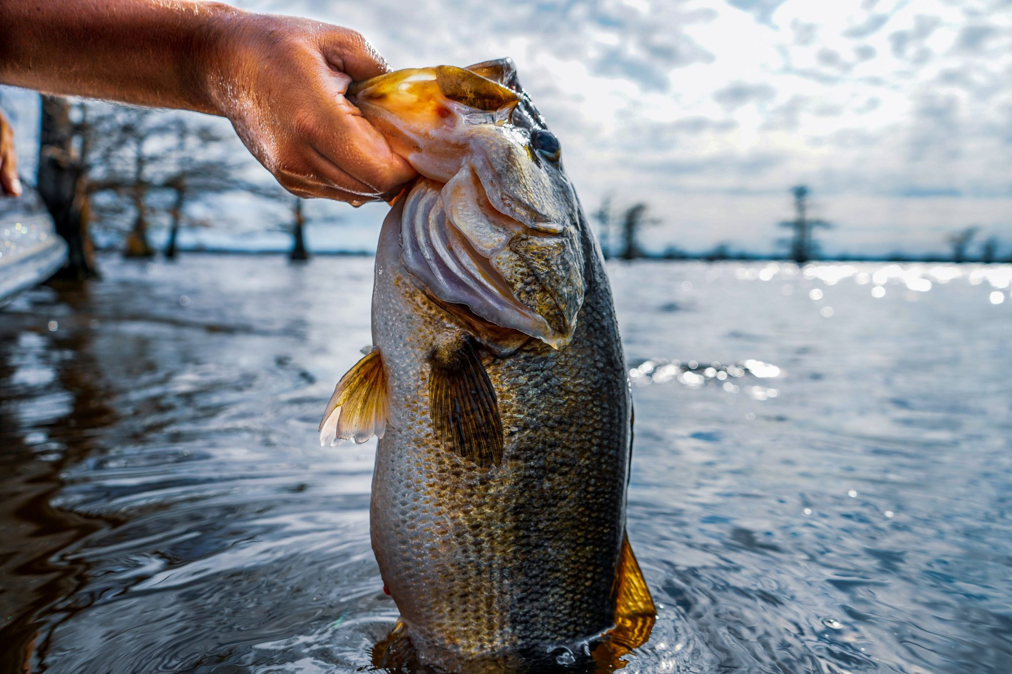 Largemouth bass are part of the black bass grouping.