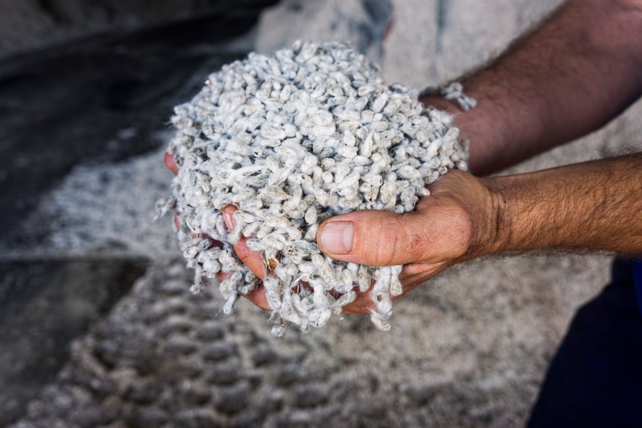 A farmers hands holding cotton seed in the store of a cotton gin.