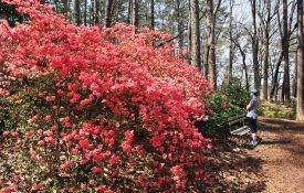 azalea in park