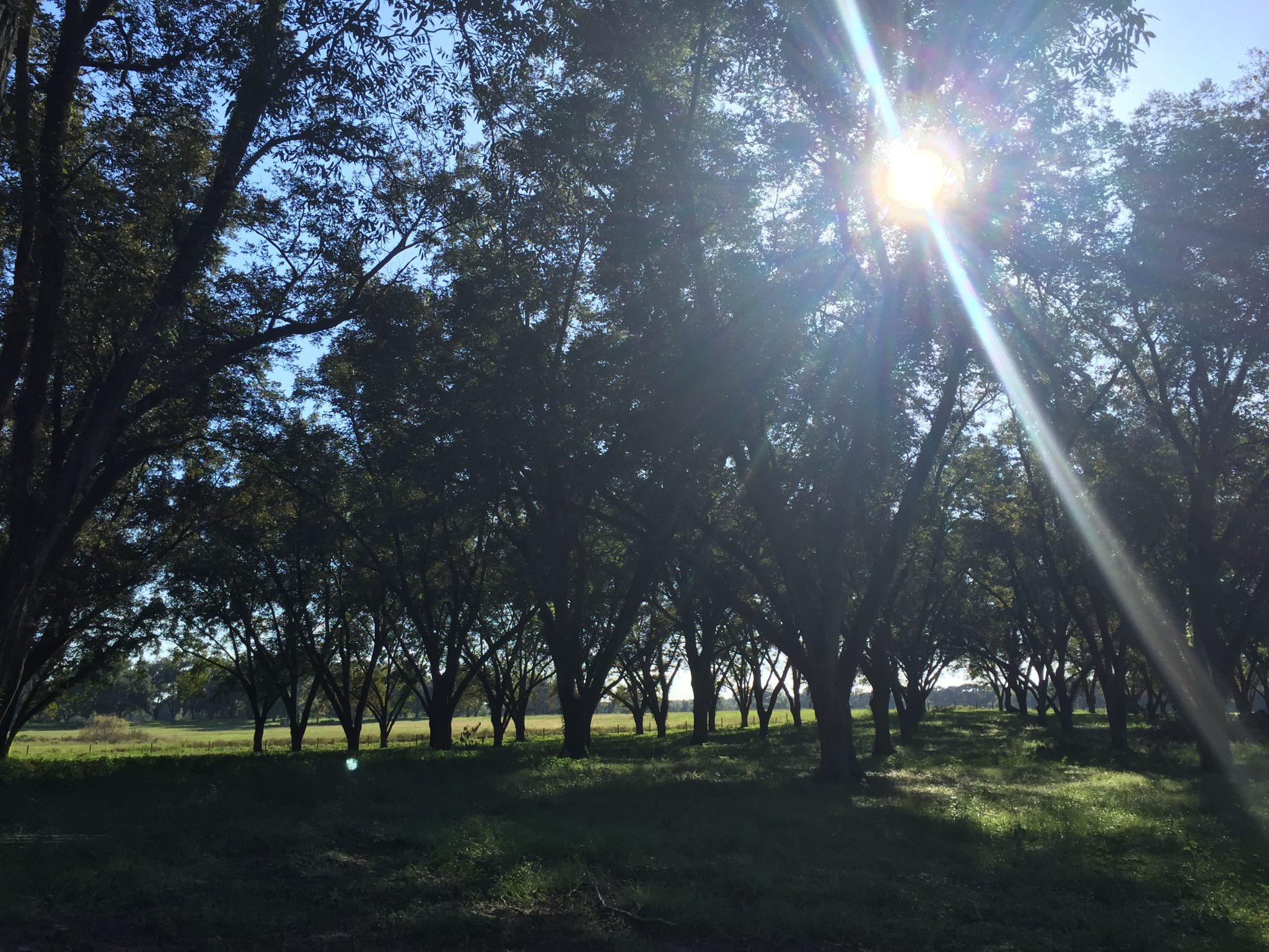 pecan trees in a pecan orchard